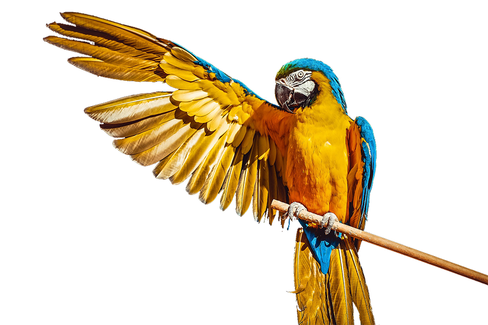 pappagallo-png